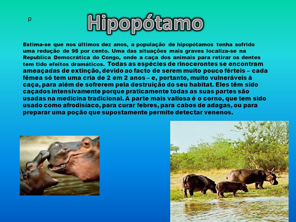 Estima-se que nos últimos dez anos, a população de hipopótamos tenha sofrido uma redução de 95 por cento.