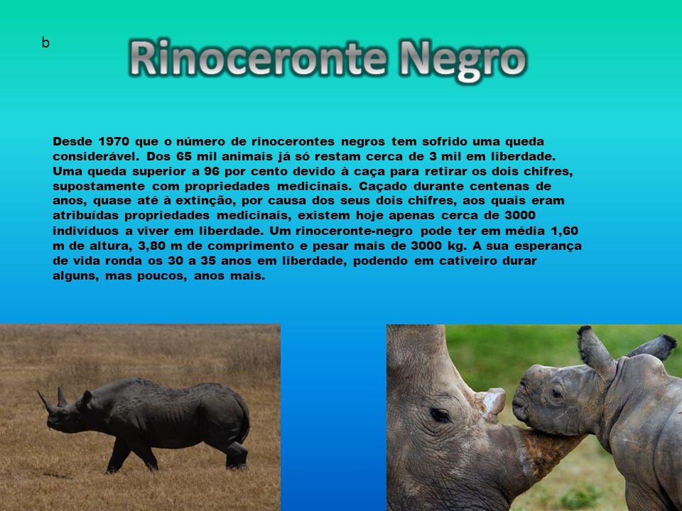 Desde 1970 que o número de rinocerontes negros tem sofrido uma queda considerável.