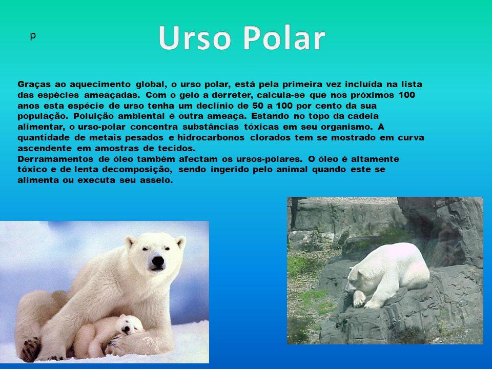 p Graças ao aquecimento global, o urso polar, está pela primeira vez incluída na lista das espécies ameaçadas.