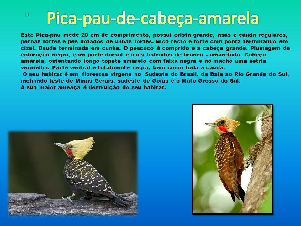 Este Pica-pau mede 28 cm de comprimento, possui crista grande, asas e cauda regulares, pernas fortes e pés dotados de unhas fortes.