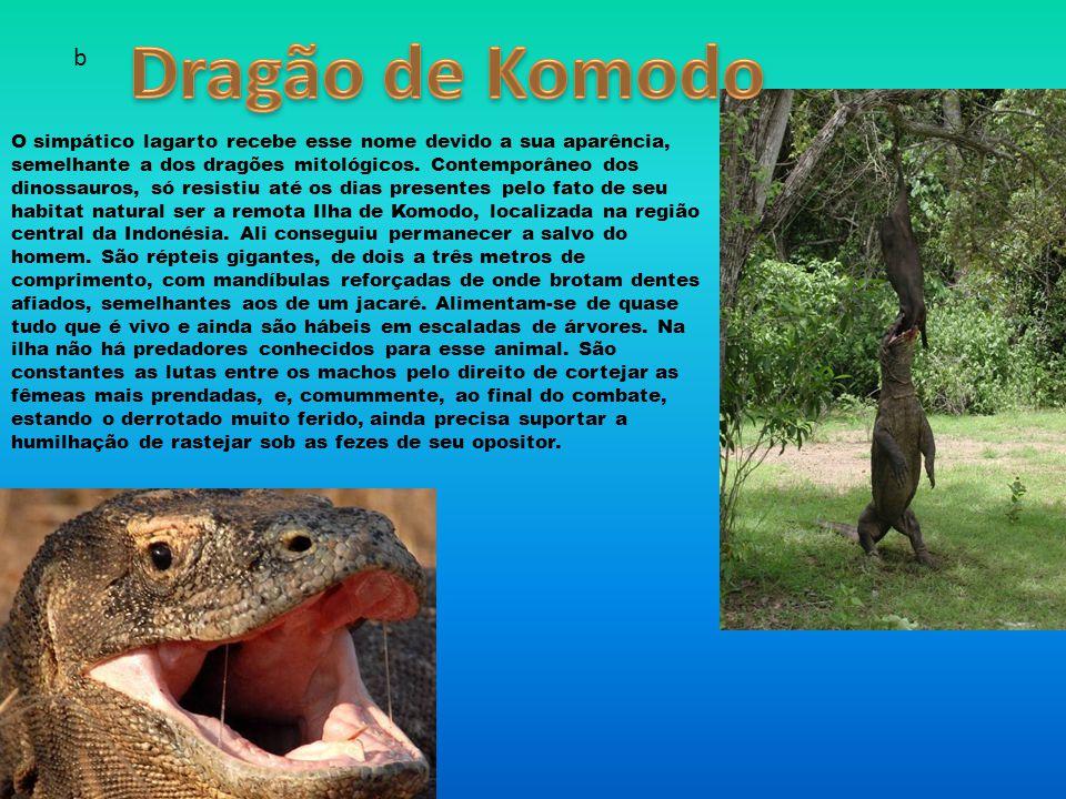 O simpático lagarto recebe esse nome devido a sua aparência, semelhante a dos dragões mitológicos.