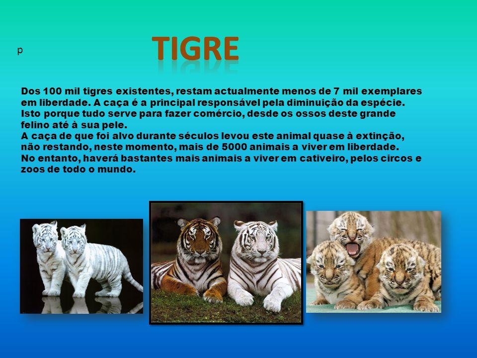 Dos 100 mil tigres existentes, restam actualmente menos de 7 mil exemplares em liberdade.