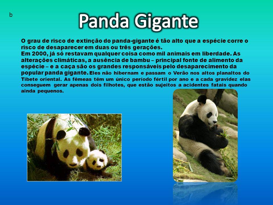 O grau de risco de extinção do panda-gigante é tão alto que a espécie corre o risco de desaparecer em duas ou três gerações.