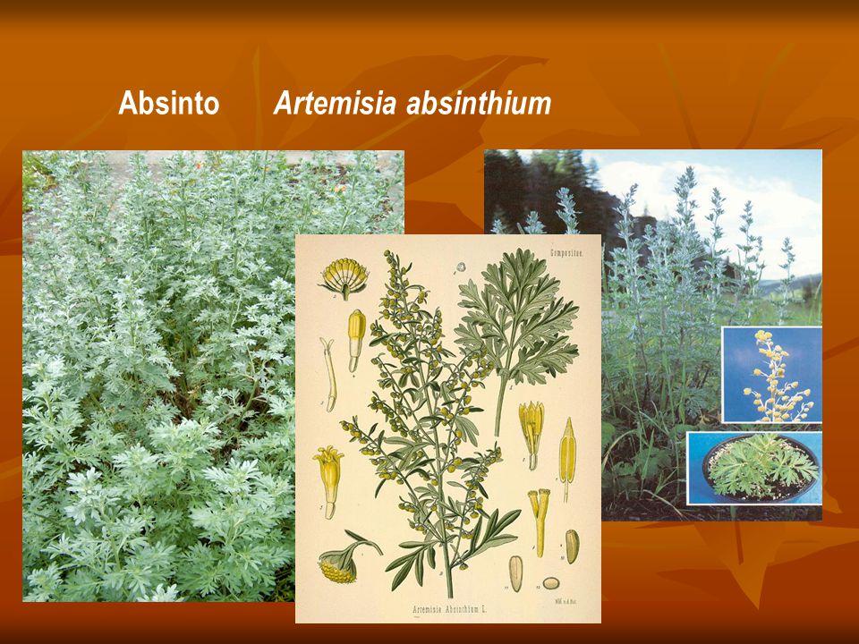 Absinto Artemisia absinthium
