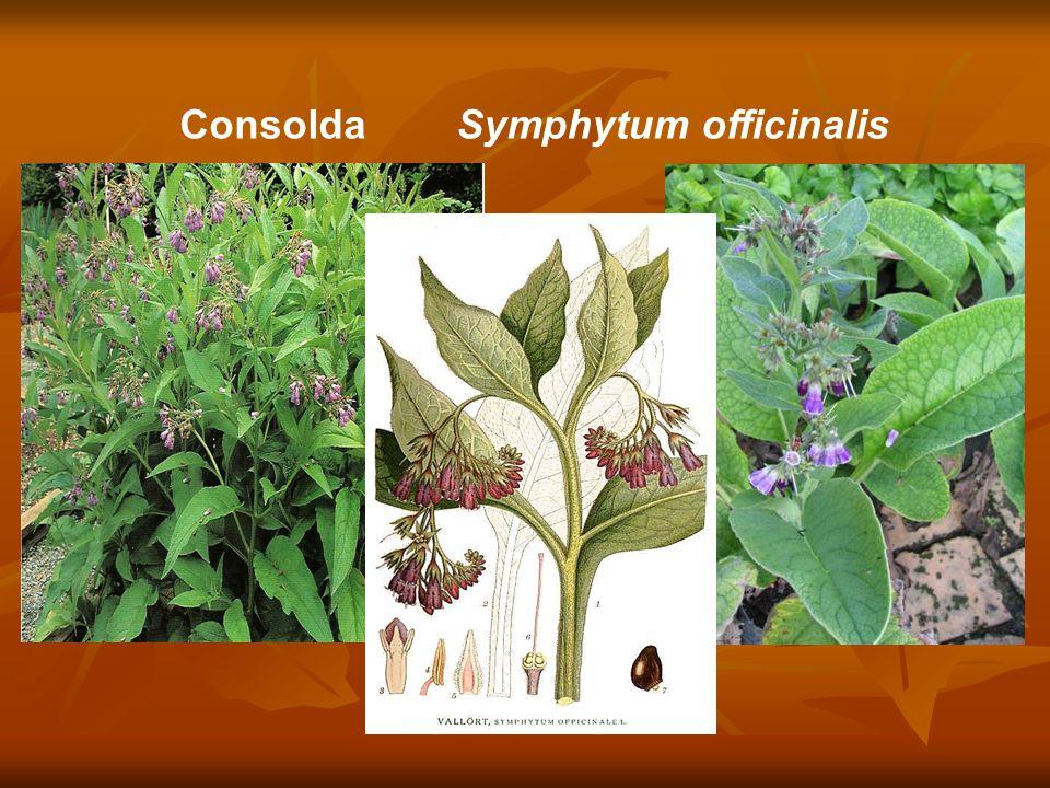 Consolda Symphytum officinalis