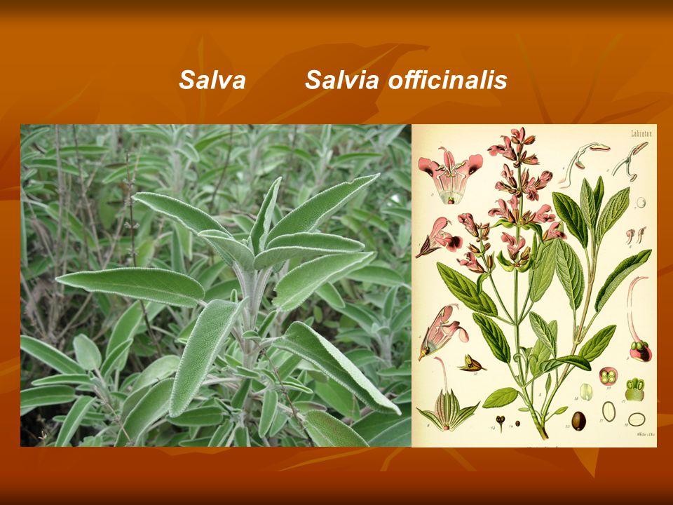 Salva Salvia officinalis