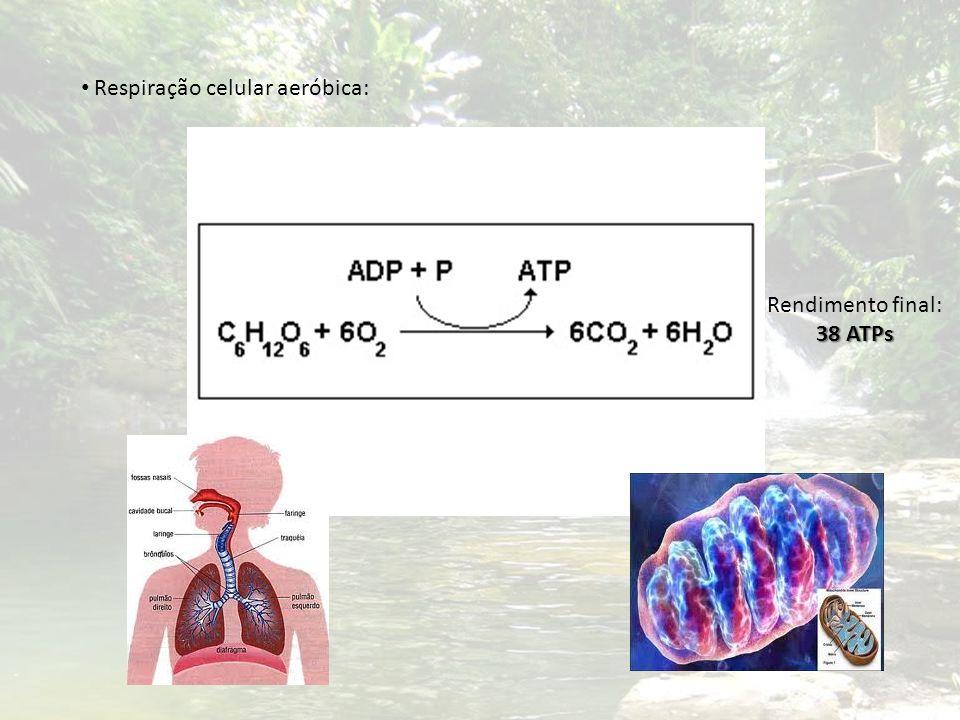 Respiração celular aeróbica: 38 ATPs Rendimento final: 38 ATPs