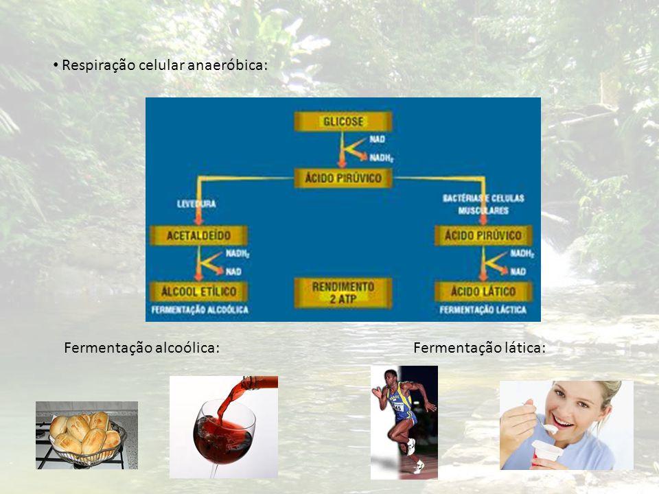 Respiração celular anaeróbica: Fermentação alcoólica:Fermentação lática: