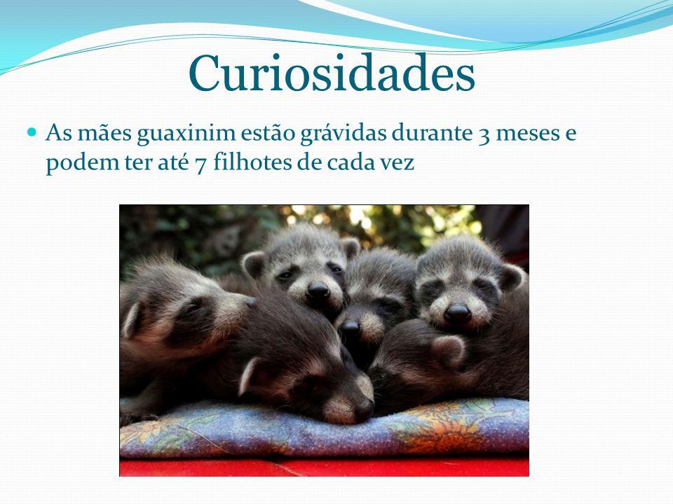 Curiosidades As mães guaxinim estão grávidas durante 3 meses e podem ter até 7 filhotes de cada vez