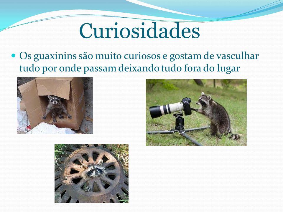 Curiosidades Os guaxinins são muito curiosos e gostam de vasculhar tudo por onde passam deixando tudo fora do lugar