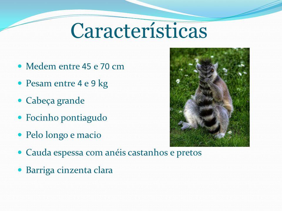 Características Medem entre 45 e 70 cm Pesam entre 4 e 9 kg Cabeça grande Focinho pontiagudo Pelo longo e macio Cauda espessa com anéis castanhos e pretos Barriga cinzenta clara
