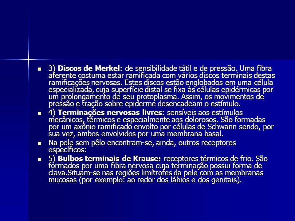 3) Discos de Merkel: de sensibilidade tátil e de pressão. Uma fibra aferente costuma estar ramificada com vários discos terminais destas ramificações