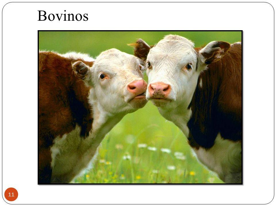 11 Bovinos