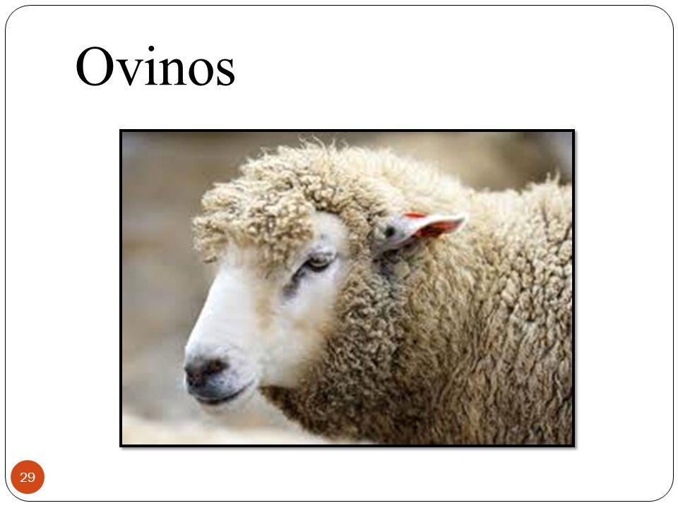 Ovinos 29