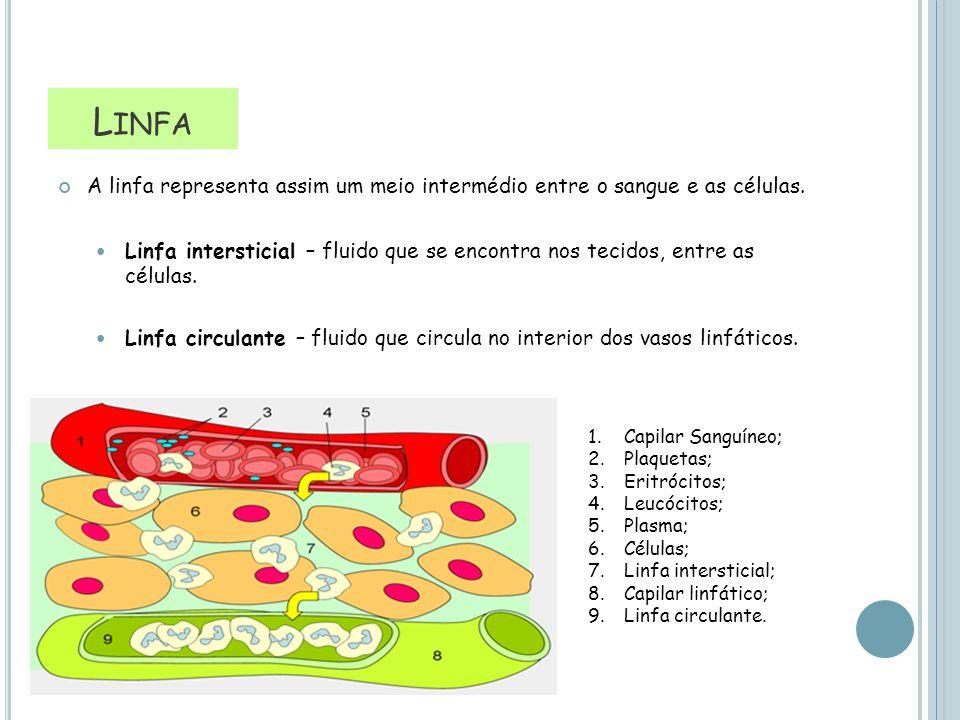 L INFA A linfa representa assim um meio intermédio entre o sangue e as células. Linfa intersticial – fluido que se encontra nos tecidos, entre as célu