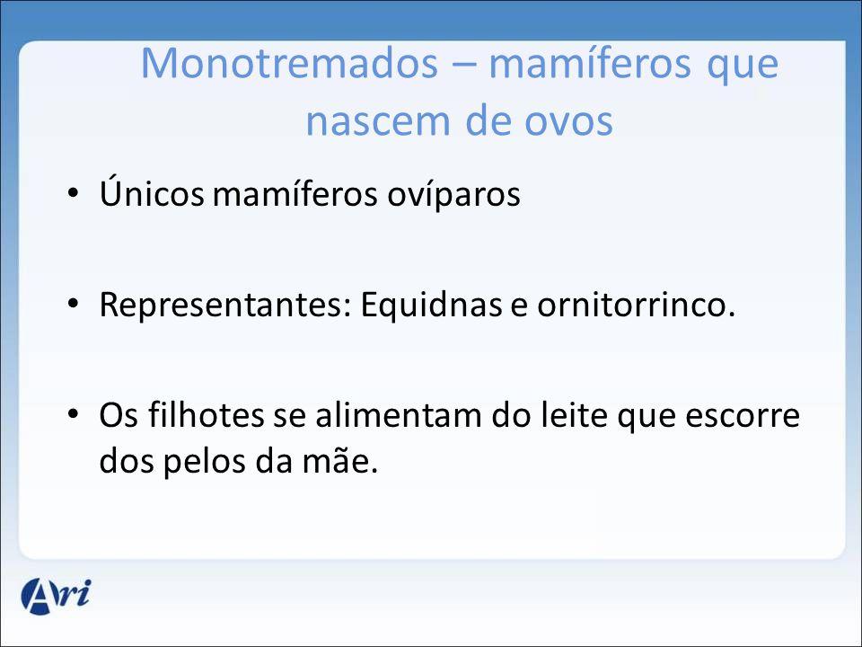 Monotremados – mamíferos que nascem de ovos Únicos mamíferos ovíparos Representantes: Equidnas e ornitorrinco. Os filhotes se alimentam do leite que e