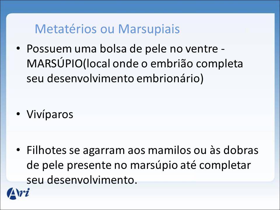 Metatérios ou Marsupiais Possuem uma bolsa de pele no ventre - MARSÚPIO(local onde o embrião completa seu desenvolvimento embrionário) Vivíparos Filho