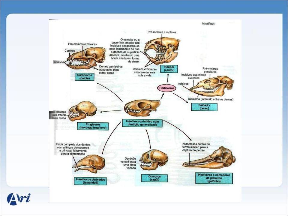 Aparelho digestivo de mamíferos: morfologias associadas a dietas diferentes