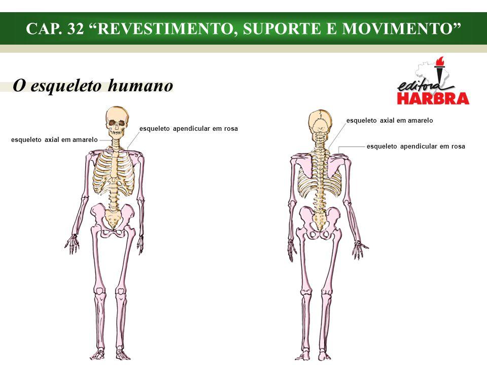 CAP. 32 REVESTIMENTO, SUPORTE E MOVIMENTO O esqueleto humano esqueleto axial em amarelo esqueleto apendicular em rosa esqueleto axial em amarelo esque