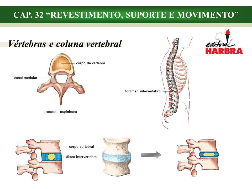 forâmen intervertebral CAP. 32 REVESTIMENTO, SUPORTE E MOVIMENTO Vértebras e coluna vertebral corpo da vértebra canal medular processo espinhoso corpo