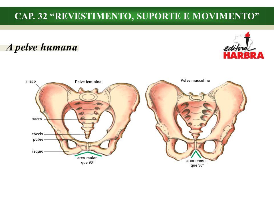 CAP. 32 REVESTIMENTO, SUPORTE E MOVIMENTO A pelve humana Pelve feminina Pelve masculina ilíaco sacro ísquio arco maior que 90º arco menor que 90º cócc