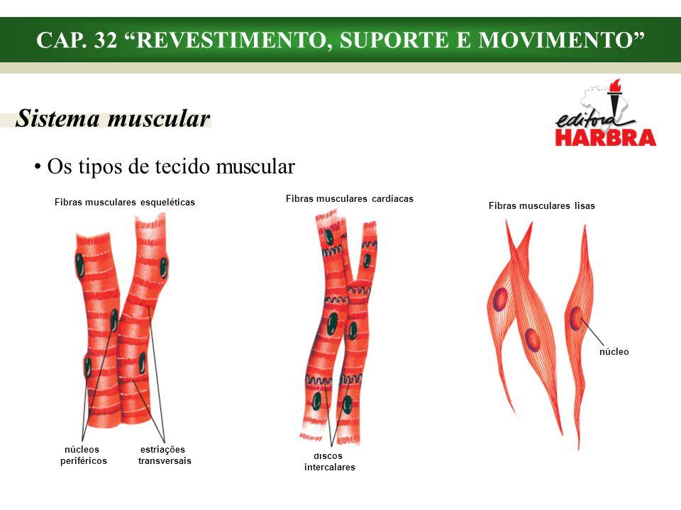 CAP. 32 REVESTIMENTO, SUPORTE E MOVIMENTO Sistema muscular Os tipos de tecido muscular núcleo Fibras musculares lisas núcleos periféricos estriações t