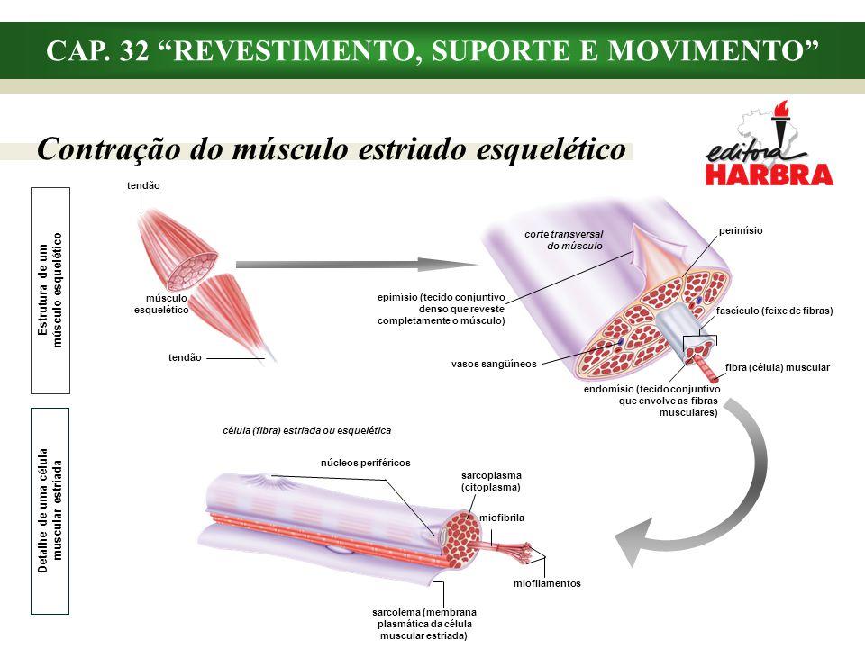 CAP. 32 REVESTIMENTO, SUPORTE E MOVIMENTO Contração do músculo estriado esquelético corte transversal do músculo vasos sangüíneos perimísio fascículo