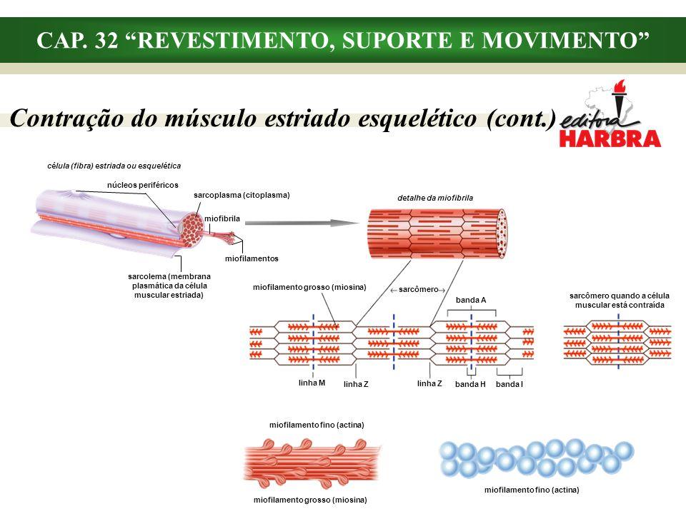 CAP. 32 REVESTIMENTO, SUPORTE E MOVIMENTO Contração do músculo estriado esquelético (cont.) detalhe da miofibrila miofilamento grosso (miosina) sarcôm