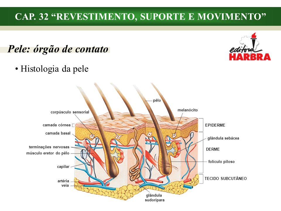 CAP. 32 REVESTIMENTO, SUPORTE E MOVIMENTO Histologia da pele Pele: órgão de contato pêlo corpúsculo sensorial camada córnea capilar camada basal termi