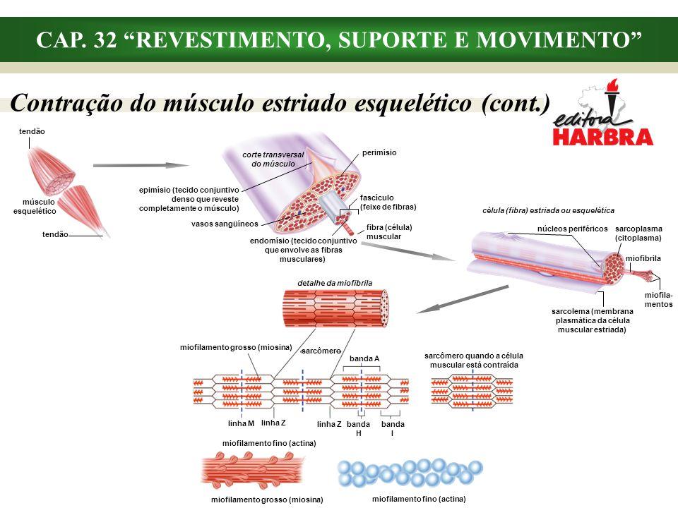 CAP. 32 REVESTIMENTO, SUPORTE E MOVIMENTO detalhe da miofibrila miofilamento grosso (miosina) sarcômero banda A sarcômero quando a célula muscular est