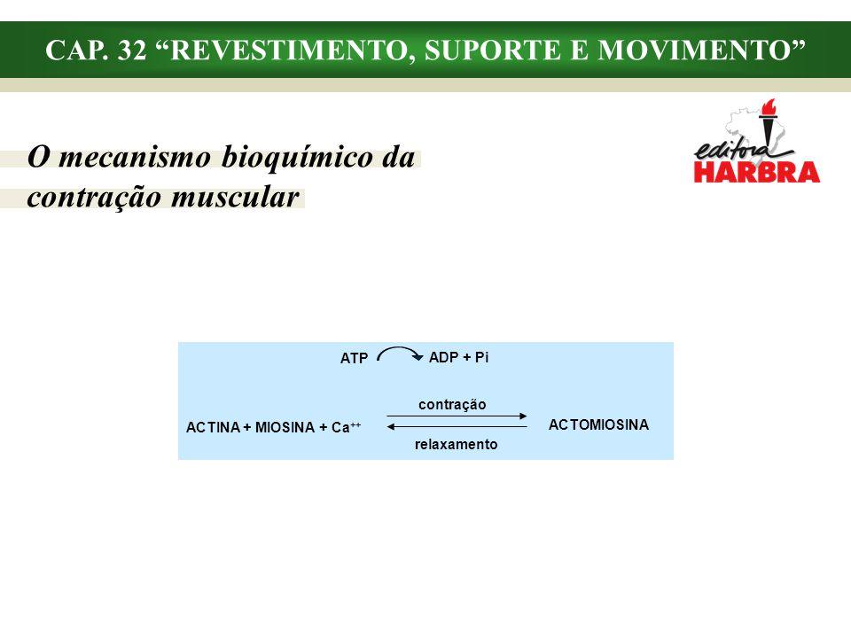 CAP. 32 REVESTIMENTO, SUPORTE E MOVIMENTO O mecanismo bioquímico da contração muscular ACTINA + MIOSINA + Ca ++ ACTOMIOSINA ATP contração relaxamento