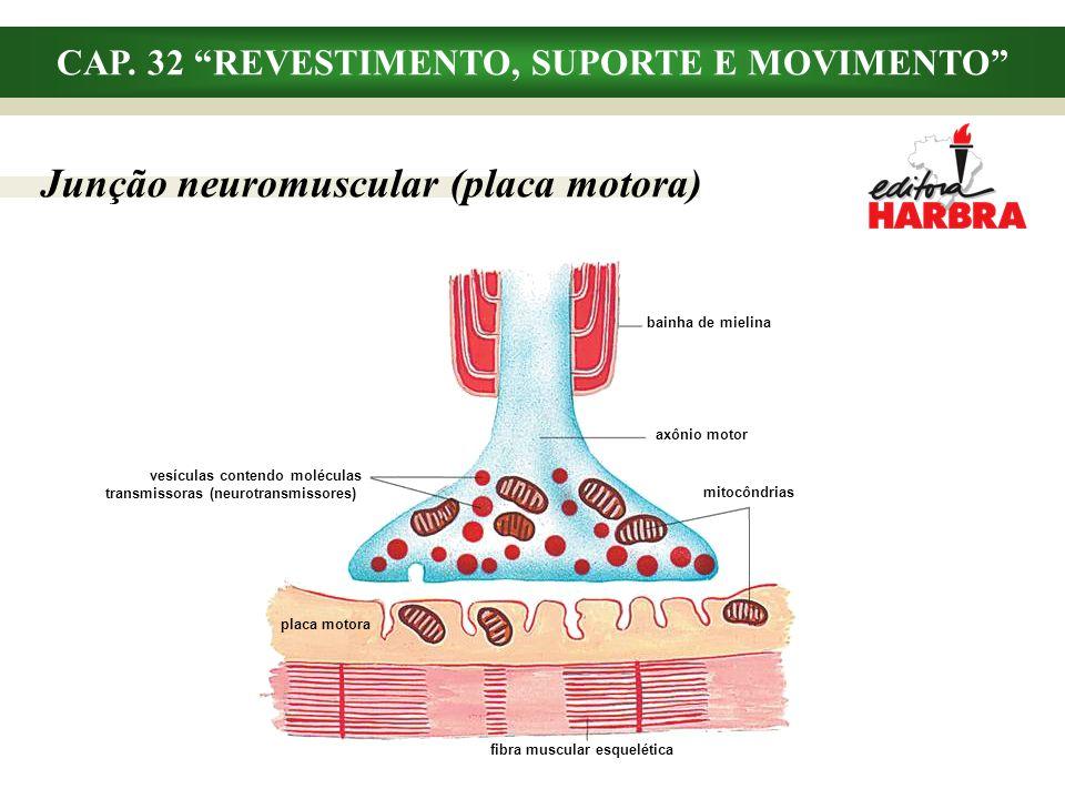 CAP. 32 REVESTIMENTO, SUPORTE E MOVIMENTO Junção neuromuscular (placa motora) bainha de mielina axônio motor mitocôndrias fibra muscular esquelética v