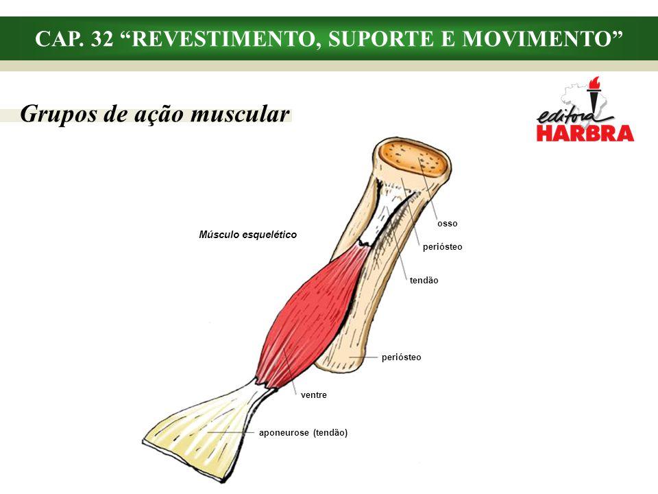 CAP. 32 REVESTIMENTO, SUPORTE E MOVIMENTO Grupos de ação muscular aponeurose (tendão) ventre tendão periósteo osso periósteo Músculo esquelético