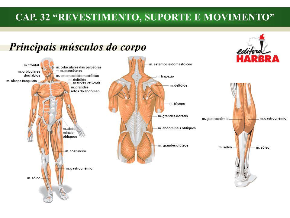 CAP. 32 REVESTIMENTO, SUPORTE E MOVIMENTO Principais músculos do corpo m. esternocleidomastóideo m. trapézio m. deltóide m. tríceps m. grandes dorsais
