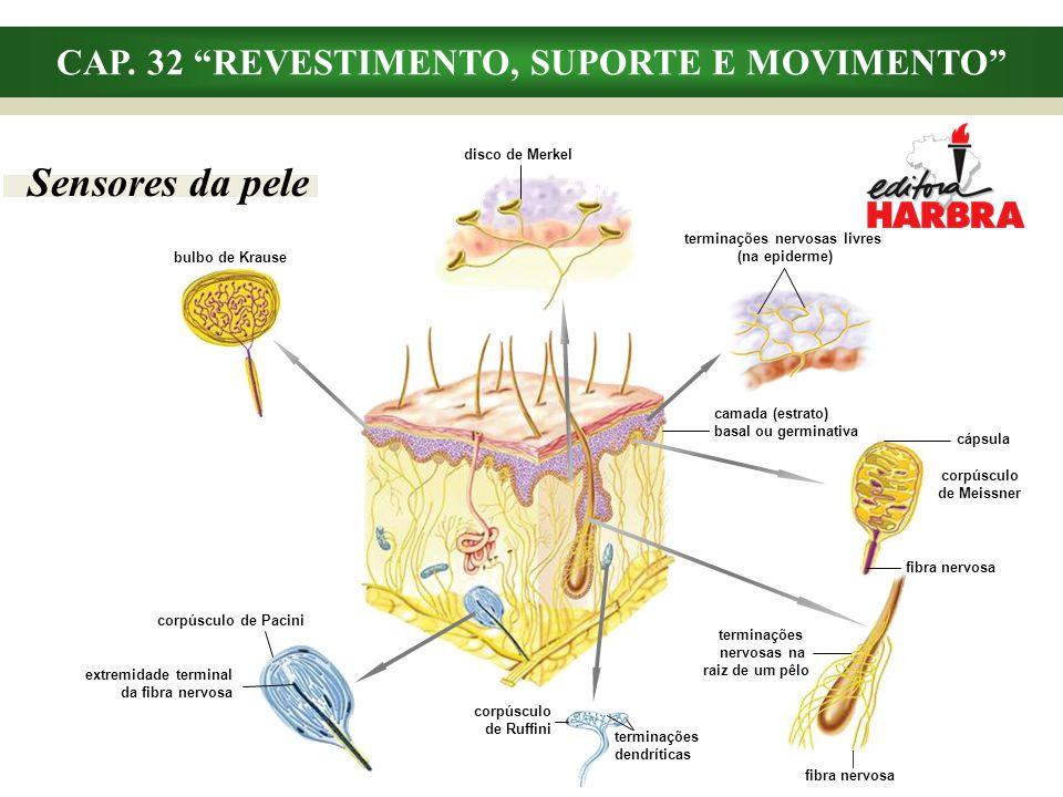 fibra nervosa cápsula corpúsculo de Meissner terminações nervosas na raiz de um pêlo fibra nervosa CAP. 32 REVESTIMENTO, SUPORTE E MOVIMENTO Sensores
