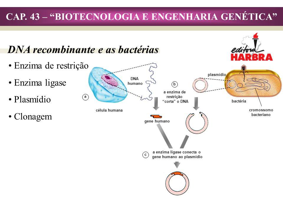 CAP. 43 – BIOTECNOLOGIA E ENGENHARIA GENÉTICA DNA recombinante e as bactérias Enzima de restrição Enzima ligase Plasmídio Clonagem gene humano plasmíd