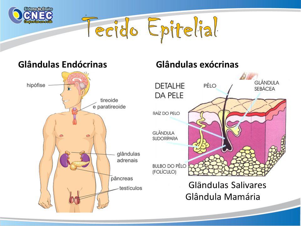 Glândulas EndócrinasGlândulas exócrinas Glândula Mamária Glândulas Salivares