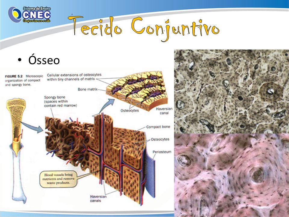 Ósseo – Células: Osteoblásto, osteócito e osteoclásto – Matriz extra celular: fibras colágenas e fosfato de cálcio