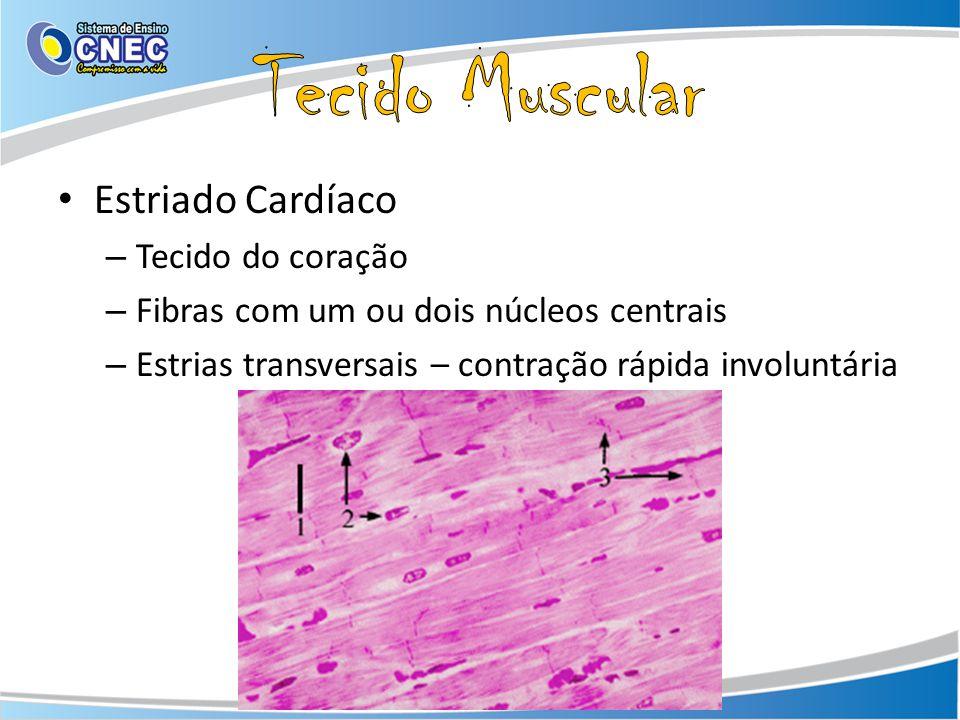 Estriado Cardíaco – Tecido do coração – Fibras com um ou dois núcleos centrais – Estrias transversais – contração rápida involuntária