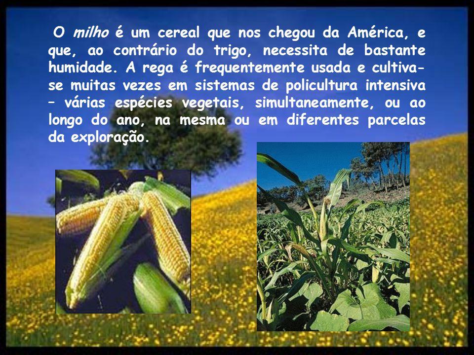 O milho é um cereal que nos chegou da América, e que, ao contrário do trigo, necessita de bastante humidade. A rega é frequentemente usada e cultiva-