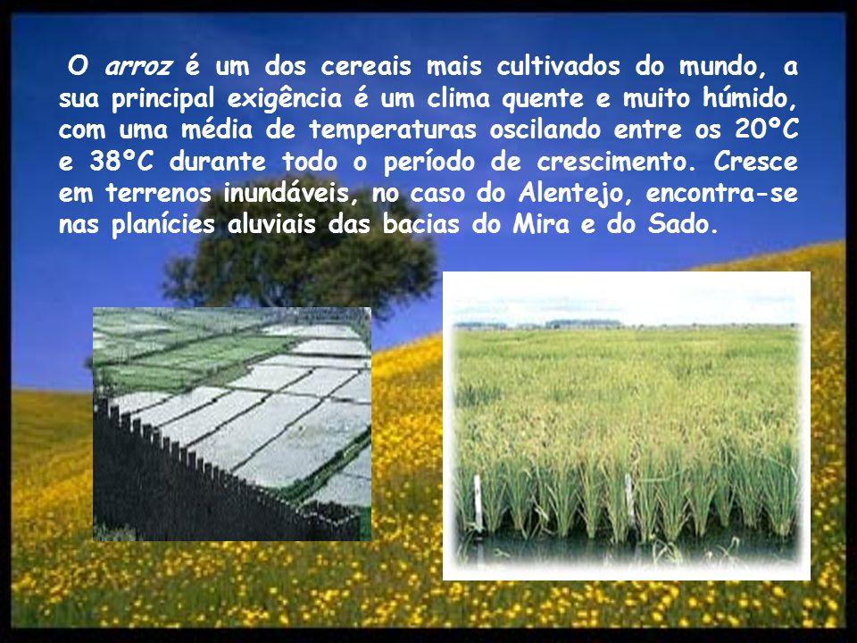 O centeio é uma planta herbácea, da família das Gramíneas, muito cultivada no país, cujo grão se reduz a farinha panificável, de grande valor nutritivo (utiliza-se para, por exemplo, fazer pão).