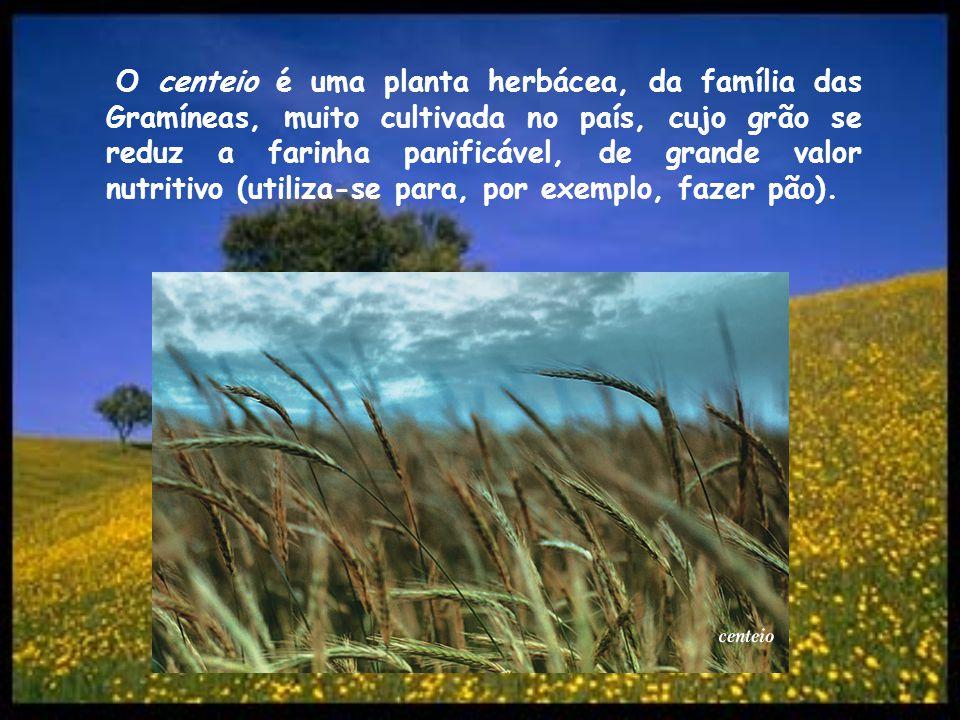 O centeio é uma planta herbácea, da família das Gramíneas, muito cultivada no país, cujo grão se reduz a farinha panificável, de grande valor nutritiv