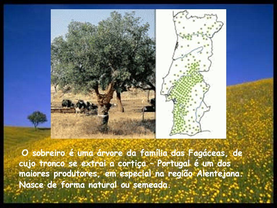 O sobreiro é uma árvore da família das Fagáceas, de cujo tronco se extrai a cortiça – Portugal é um dos maiores produtores, em especial na região Alen