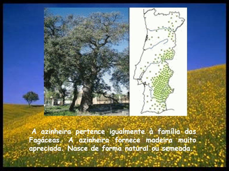 A azinheira pertence igualmente à família das Fagáceas. A azinheira fornece madeira muito apreciada. Nasce de forma natural ou semeada.