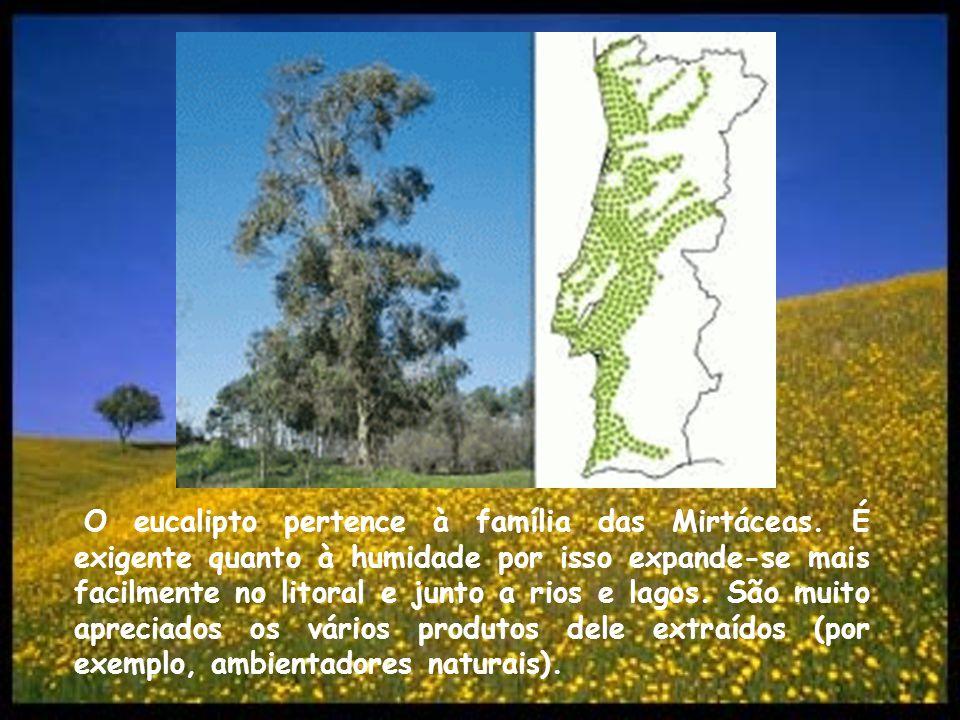 O eucalipto pertence à família das Mirtáceas. É exigente quanto à humidade por isso expande-se mais facilmente no litoral e junto a rios e lagos. São