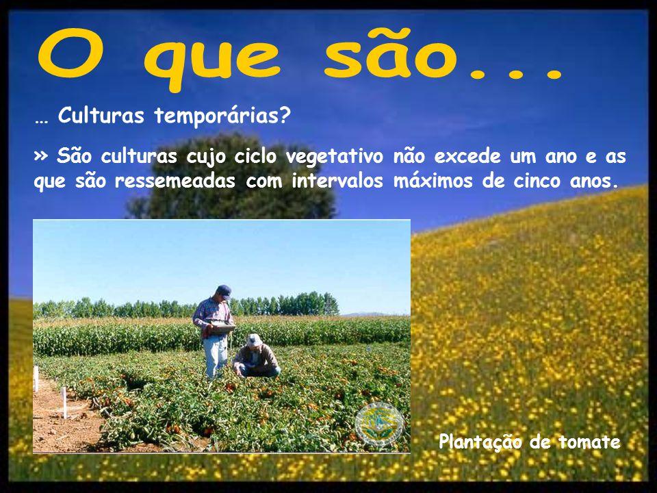 … Culturas temporárias? » São culturas cujo ciclo vegetativo não excede um ano e as que são ressemeadas com intervalos máximos de cinco anos. Plantaçã