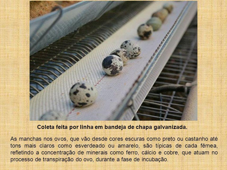 Coleta feita por linha em bandeja de chapa galvanizada. As manchas nos ovos, que vão desde cores escuras como preto ou castanho até tons mais claros c