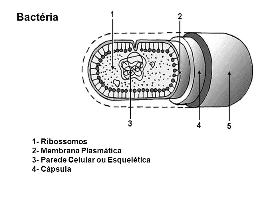 Bactéria 1- Ribossomos 2- Membrana Plasmática 3- Parede Celular ou Esquelética 4- Cápsula