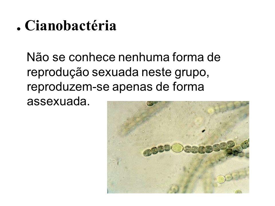 . Cianobactéria Não se conhece nenhuma forma de reprodução sexuada neste grupo, reproduzem-se apenas de forma assexuada.
