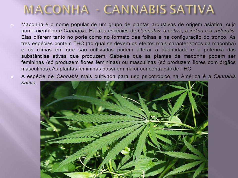 Maconha é o nome popular de um grupo de plantas arbustivas de origem asiática, cujo nome científico é Cannabis. Há três espécies de Cannabis: a sativa